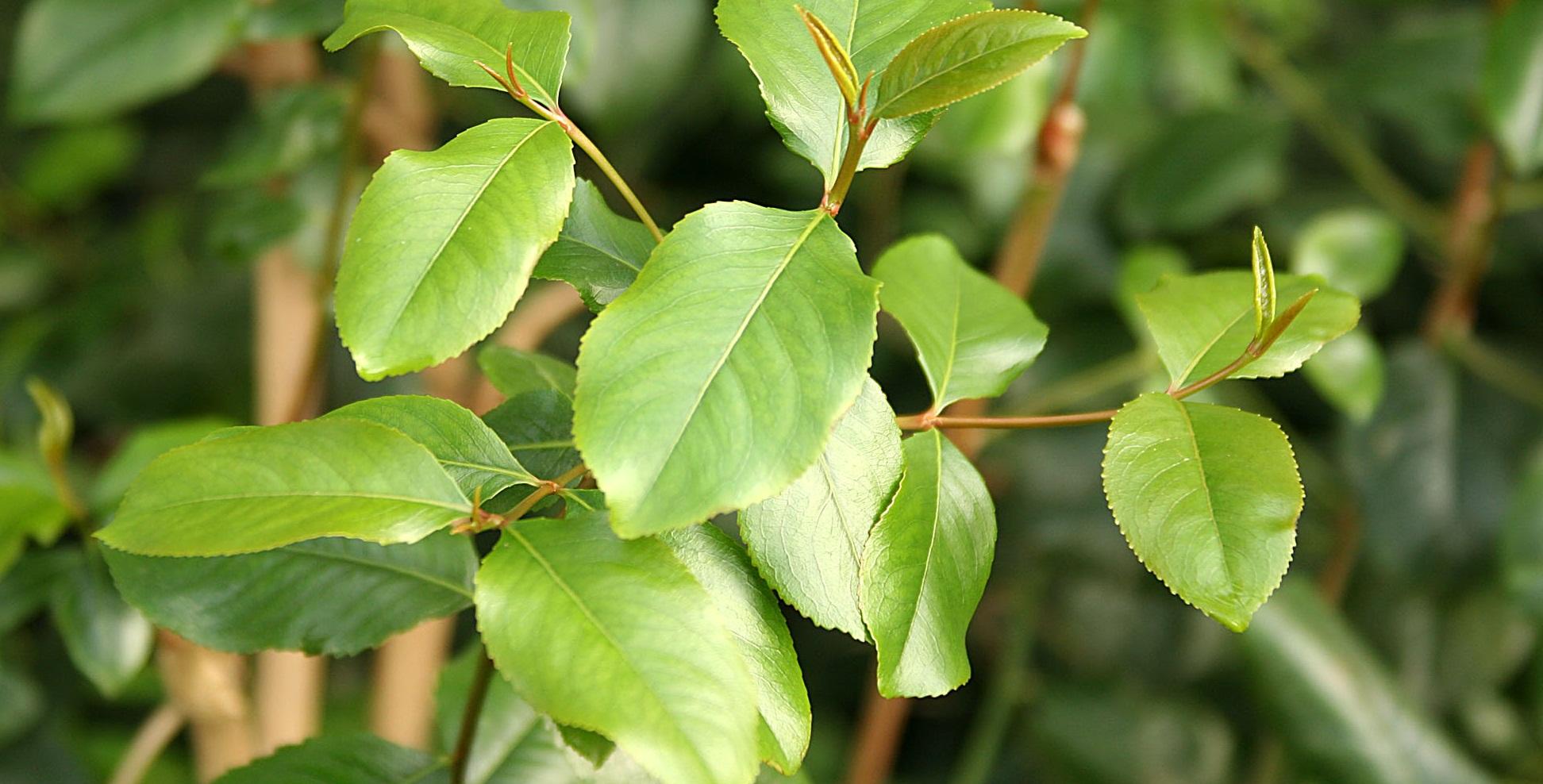 Катизм, листья ката
